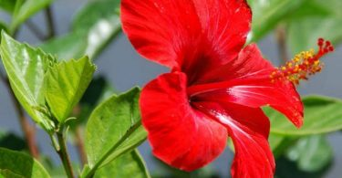 Hibiscus Rosa-Sinensis National flower of Malaysia