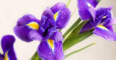 Iris national flower of france