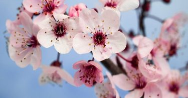 national flower of china: plum blossom