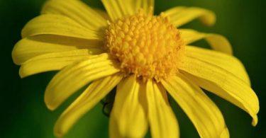 arfaj national flower of kuwait