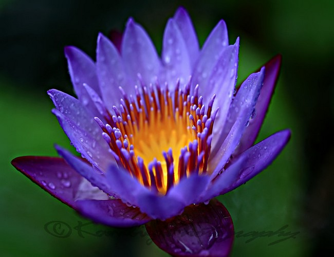 Blue Water Lily: national flower of Sri Lanka