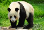 Gian Pand national animal of China