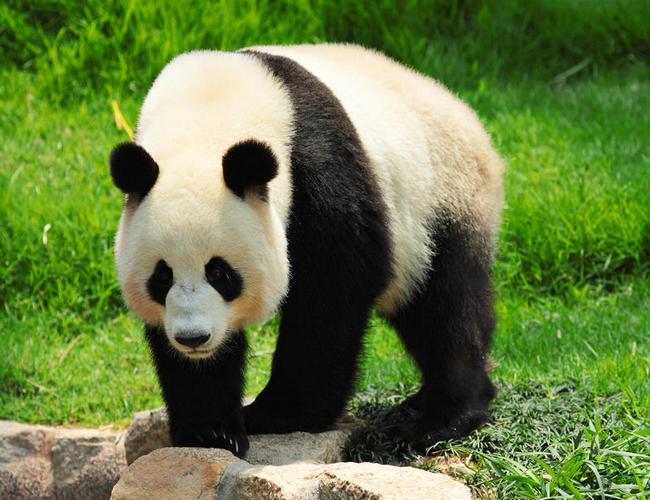 Giant Panda: The National Animal of China