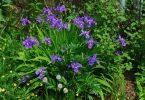 national flower of algeria: iris-tectorum