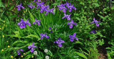 national flower of algeria: iris-tectorum