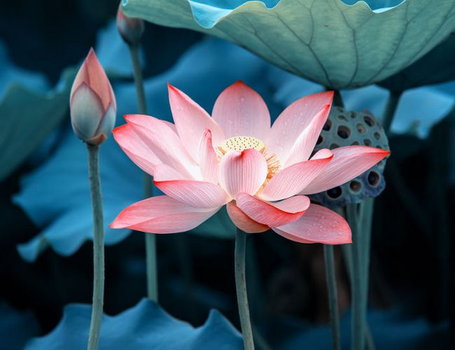 The national flower of egypt lotus national flower of egypt lotus mightylinksfo