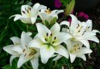national flower of italy: lily