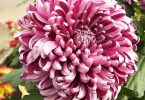 national flower of japan