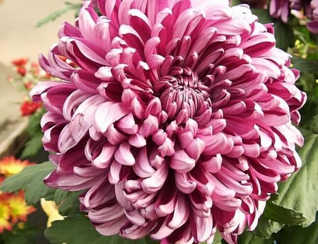 Chrysanthemum Flower Japanese