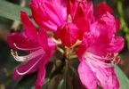 national flower of nepal: rhododendron