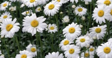 national flower of russia: chamomile