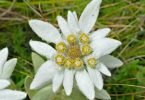 national flower of swtizerland edelweiss