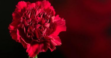 Red carnation: national flower of spain