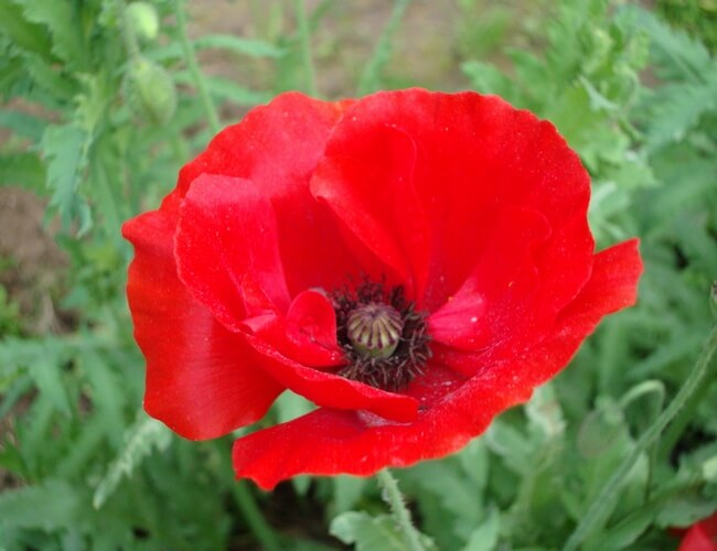 Red poppy the national flower of belgium red poppy national flower of belguim mightylinksfo Choice Image