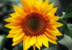 Sunflower: national flower of Ukraine
