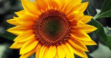 Sunflower: national flower of Ukraine