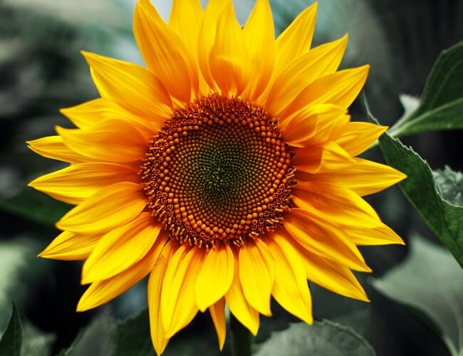 as the flowers of a sunflower track the sun they are exhibiting They seem to think that they own all the trees in the garden  as they are one if ross's favourite flowers)  the lotus, the lily, the sunflower,.