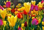 afghanistan national flower: tulip