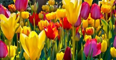 afghanistan national flower: tulip