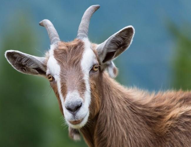 National Animal of Iraq Goat