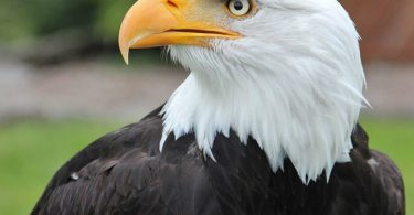 national animal of nigeria eagle