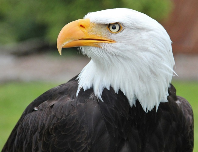Eagle The National Animal Of Nigeria