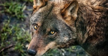 National Animal of Portugal: Iberian Wolf