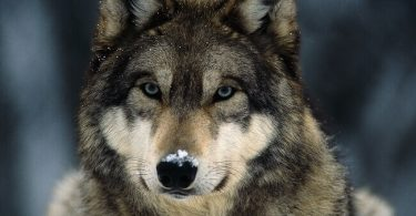 National Animal of Turkey: Gray Wolf
