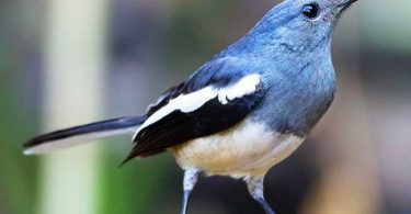 National Bird of Bangladesh: Magpie Robin