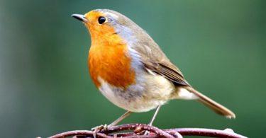 Robin England National Bird