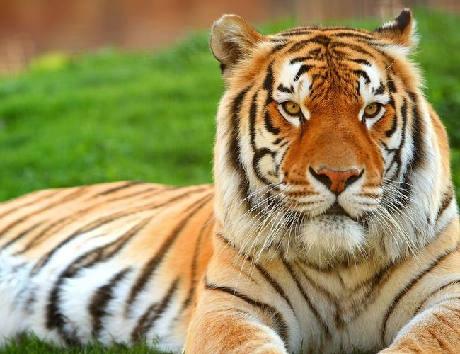 royal bengal tiger scientific name