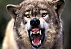 wolf national animal of italy