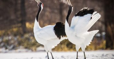 national bird of china red crowned crane