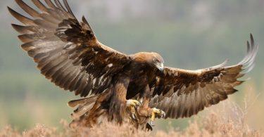 Golden Eagle Scotland Bird