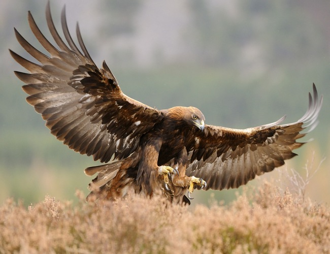 Golden Eagle Scotland Bird