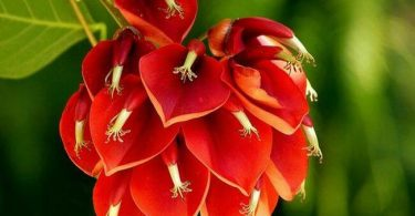 Erythrina-argentina-national-flower