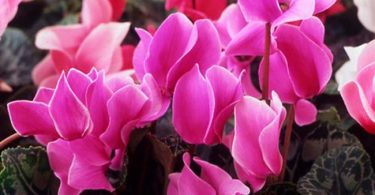 Israel national flower
