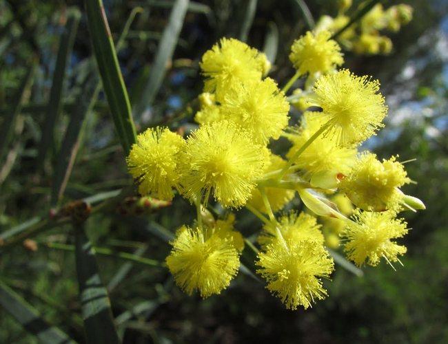 goldern wattle flower