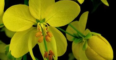 Cassia Fistula Thailand National Flower
