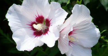 National Flower of South Korea Hibiscus Syriacus