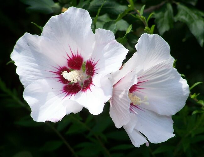 Hibiscus Syriacus The National Flower Of South Korea
