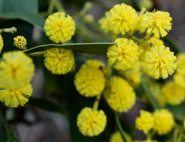 national flower of australia