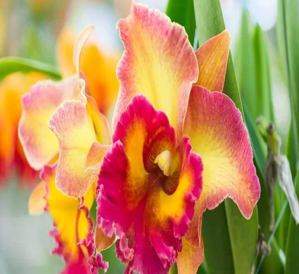 Cattleya Orchid Brazil National Flower