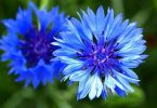 Corn Flower Germany National Flower