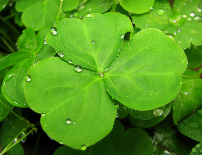 Shamrock the national flower of ireland shmrock ireland national flower shamrock flower mightylinksfo Image collections