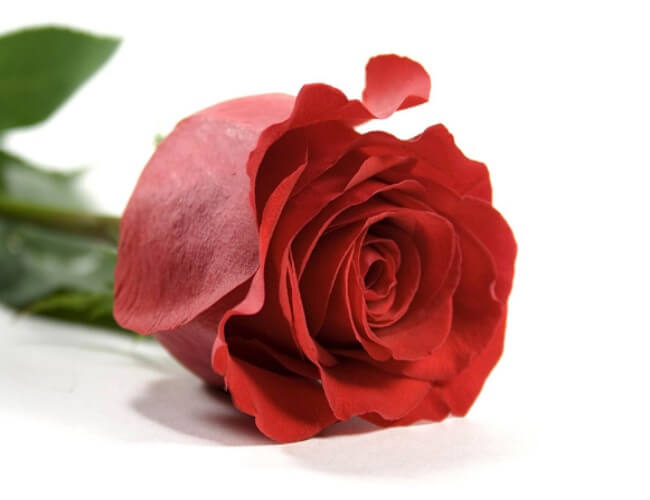Iran-national-flower-red-rose