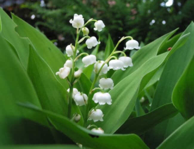 Yugoslavia-National-Flower-Lily-of-Valley