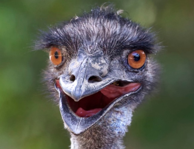 National-Bird-of-Australia-Emu